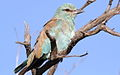 European roller, Coracias garrulus at Borakalalo National Park, Northwest Province, South Africa (16203440782).jpg