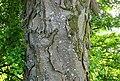 Excessive bark scales, Acer pseudoplatanus, Dumbarton, Scotland.jpg