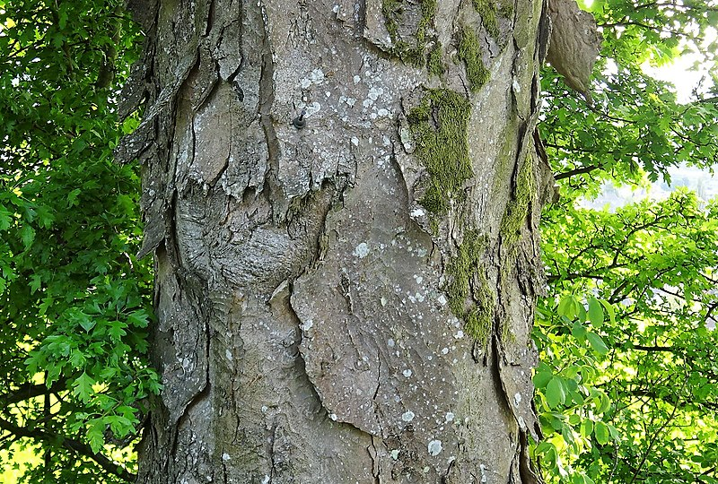 File:Excessive bark scales, Acer pseudoplatanus, Dumbarton, Scotland.jpg