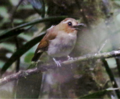 Eyebrowed Jungle Flycatcher 2.tif