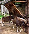 Fütterung Thüringische Waldziegen Wildpark Alte Fasanerie Juni 2012.JPG