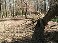 Fallen tree, site of Lexington plantation.jpg