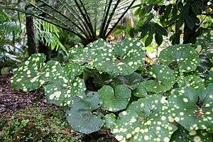 Farfugium japonicum - Farfugium japonicum 'Aureomaculatum' in garden setting