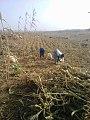 Farm work in Saminaka.jpg