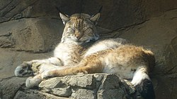 Un lynx allongé.