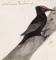 The Great Black Woodpecker