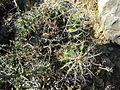 Ferocactus flavovirens (5754262996).jpg