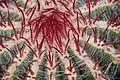 Ferocactus pilosus in Tropengewächshäuser des Botanischen Gartens 04.jpg