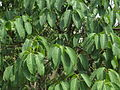 Ficus Tsjahela 13.JPG