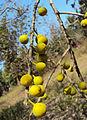 Ficus exasperata 04.JPG