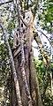 Ficus maclellandii 2.jpg