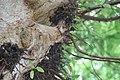 Ficus racemosa 4zz.jpg