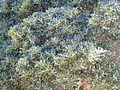 Ficus rubiginosa, lower, d, Pretoria.jpg