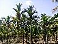 Field of Areca catechu in Salem.jpg