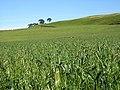 Field of Grasses - geograph.org.uk - 241407.jpg
