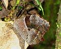 Fiery Satyr (Lasiophila orbifera), Arvi Park, Colombia.jpg