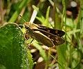 Fiery Skipper female. (Hylephila phyleus) (37823702614).jpg