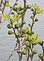Figs - İlek 03.jpg