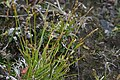 Finstarr - Carex krausei0254 - Flickr - Ragnhild & Neil Crawford.jpg