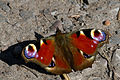 First Peacock Butterfly of Spring (6876056158).jpg