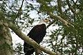 Fish Eagle, Kruger Park, South Africa (8341032713).jpg