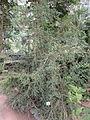 Fitzroya cupressoides - Palmengarten Frankfurt - DSC01928.JPG