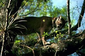Florida Panther National Wildlife Refuge - Image: Fl panther