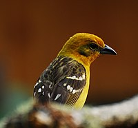 Flame-colored Tanager.jpg