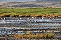 Flamingos at Lake Natron (9) (28551601446).jpg