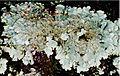 Flavoparmelia caperata (EU).jpg