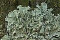 Flavoparmelia soredians (39276353534).jpg