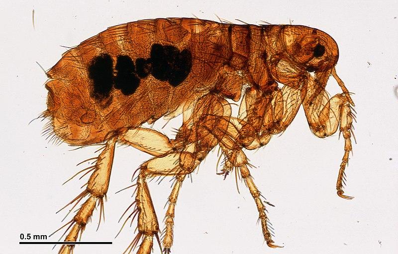 File:Flea (251 01) Aphaniptera; total preparation.jpg