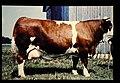 Fleckvieh = 世界の牛 フレツクフィー(雄) (36536961192).jpg
