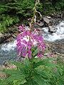 Fleur, en fond Neste du Rioumajou.jpg