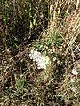 Fleurs - EcoParc des Carrieres Fontenay sous Bois 1.JPG