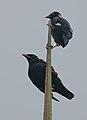 Flickr - Rainbirder - Ceylon Myna (Gracula ptilogenys).jpg