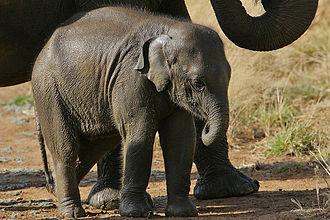 Sri Lankan elephant - Elephant calf in Udawalawe National Park