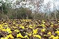Flor de Araguaney (Nirgua -Yaracuy).jpg