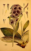 Flora Antarctica Pleurophyllum speciosum.jpg