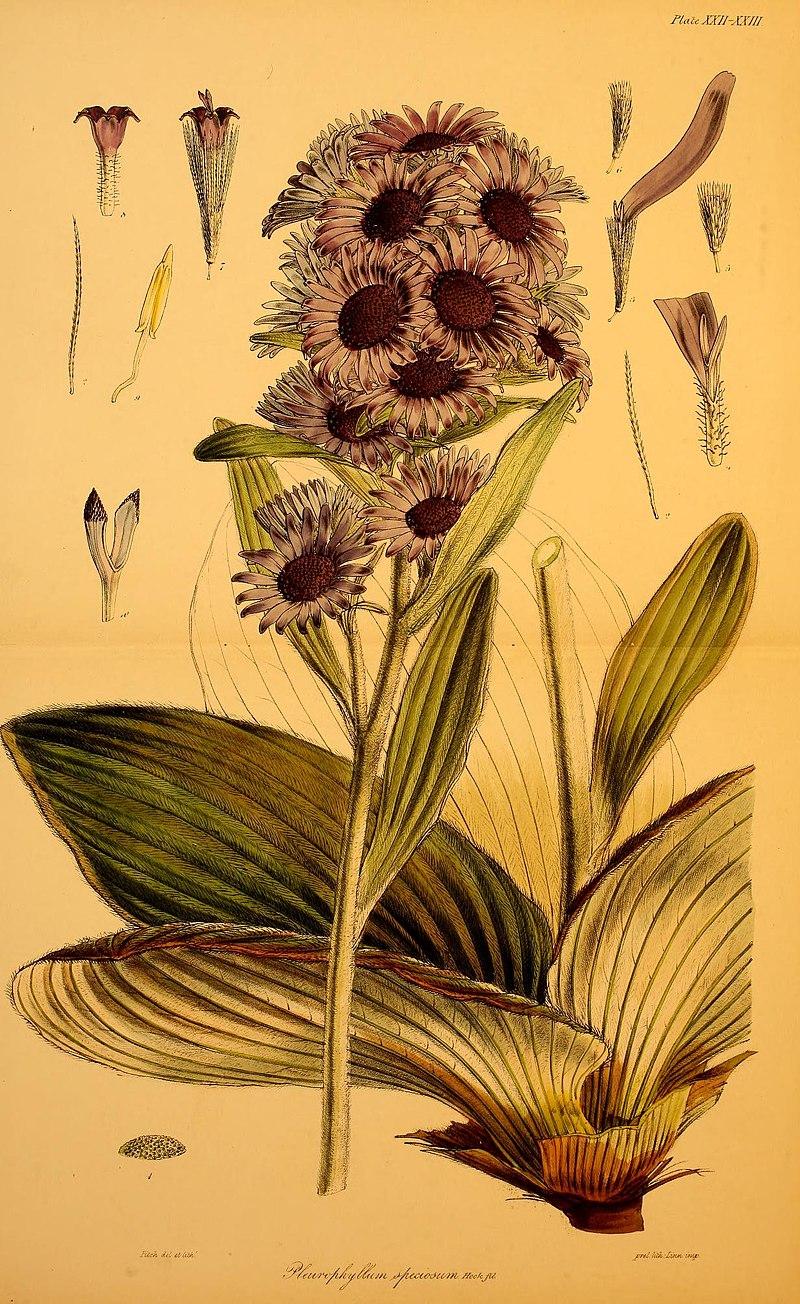 Illustration d'une fleur de l'Antarctique datant de 1844. Dessin de Walter Hood Fitch.