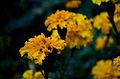 Flores Amarillas.jpg