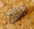 Flounced Rustic. Luperina testacea. (10905772344).jpg