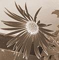 Flower Manyuchi.jpg