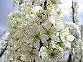 Flowers of Iran گلهای ایران 47.jpg