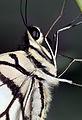 Fluffy Buttefly (17020127095).jpg