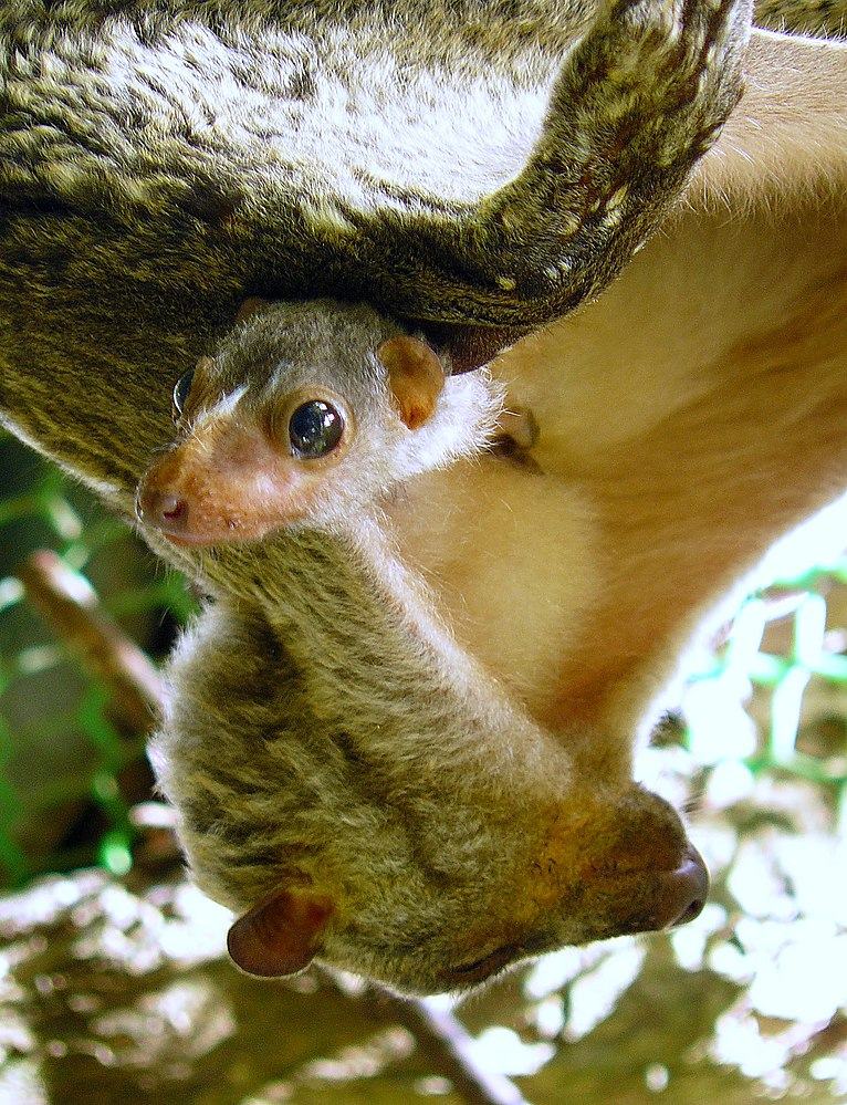 The average adult weight of a Philippine flying lemur is 1.25 kg (2.76 lbs)