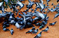 Flying Pigeons.JPG