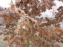 Una delle caratteristiche delle querce decidue è che le foglie secche cadono alla fine dell'inverno e non in autunno