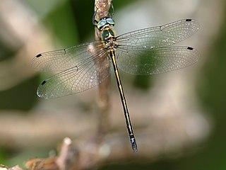 <i>Micromidia atrifrons</i> Species of dragonfly