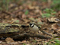 Forest Wagtail 4024.jpg